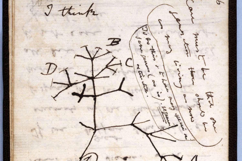 Eine Seite aus einem von Darwins Notizbüchern, die seine ersten vorläufigen Ideen über das verzweigte Abstiegssystem mit Modifikation zeigt.