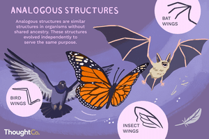 Analogous structures are similar structures in organisms without shared ancestry. These structures evolved independently to serve the same purpose.