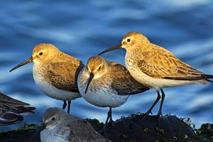 These dunlins belong to the vertebrates, one of the three groups of chordates alive today.