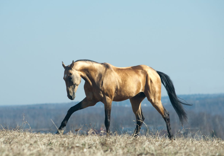 Akhal Teke stallion