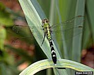 Order Odonata
