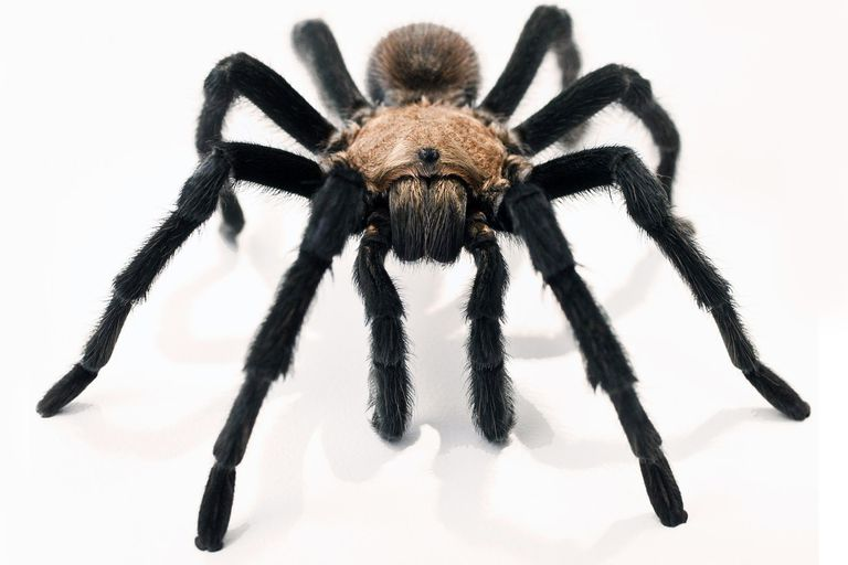 Tarantulas Rarely Bite And Other Facts About The Friendly Spiders