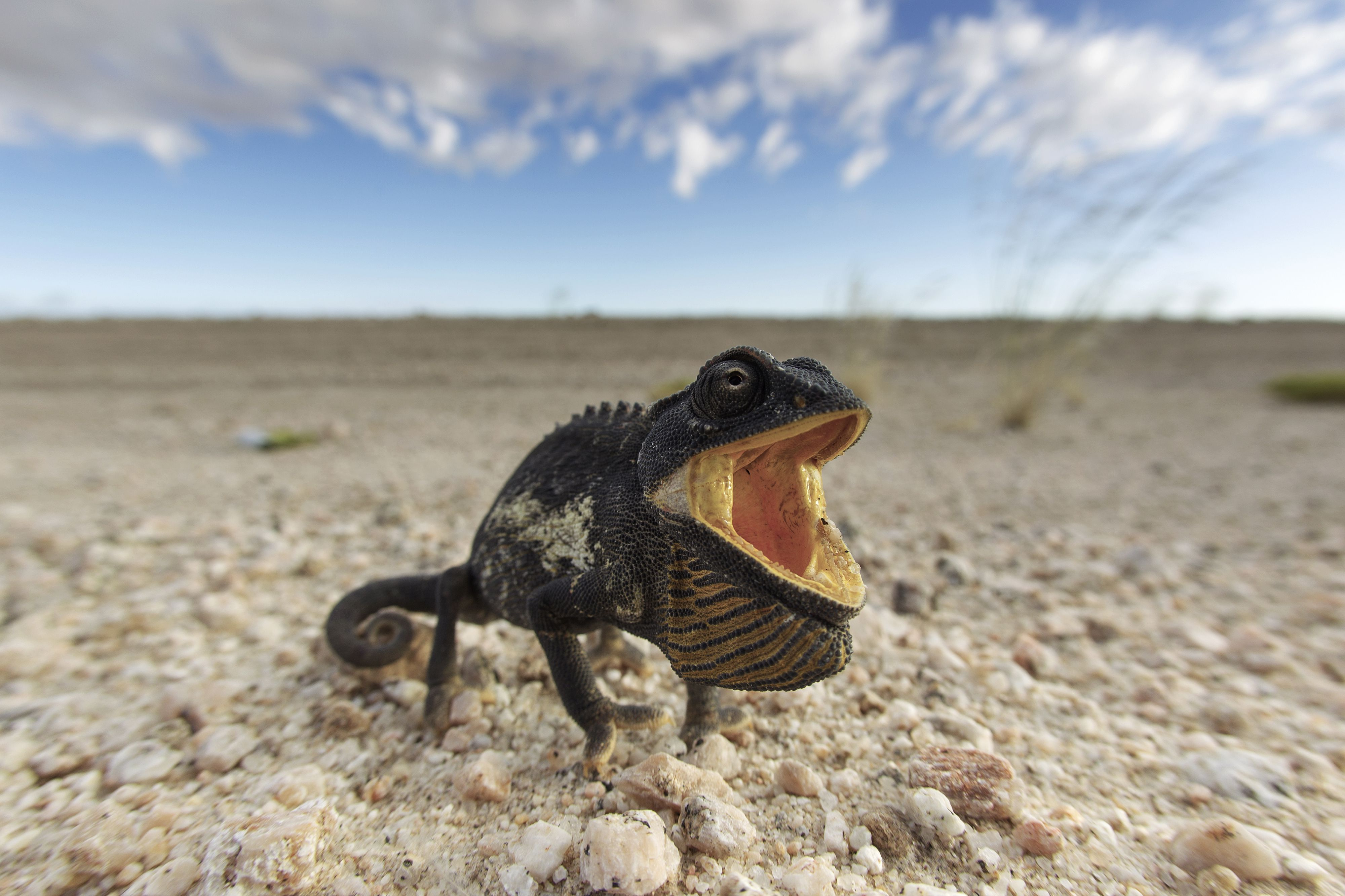 A Namaqua chameleon in the Namib desert, turned black and with an open, bright mouth as a threat display