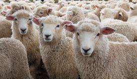 Sheep Herd in New Zealand