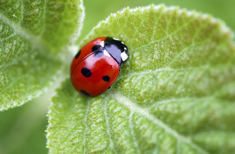 Lady beetle.