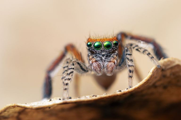 Jumping spiders have eight eyes and excellent vision.