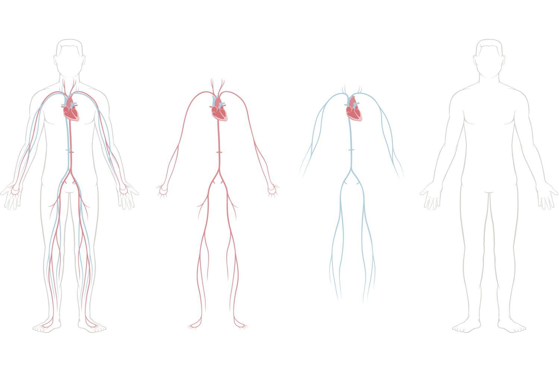 Circulatory System Vessels