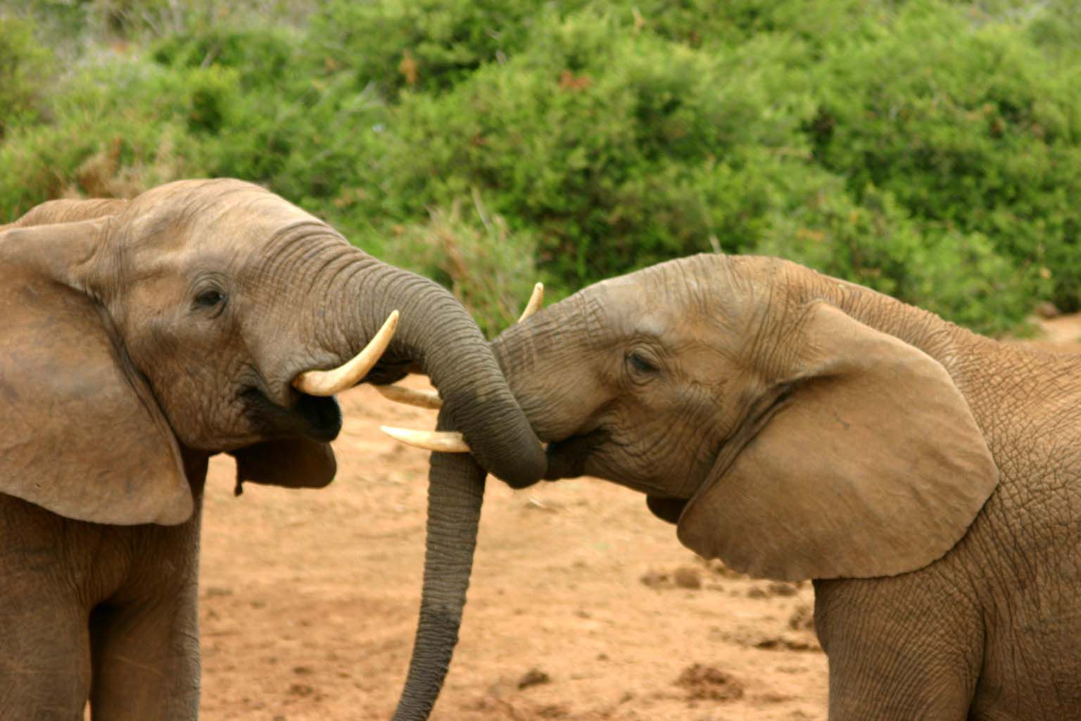 Two elephants winding their trunks together in a mating ritual.