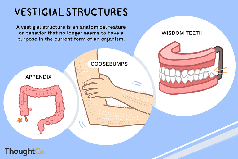 Vestigial structures defined