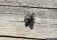 Order Diptera