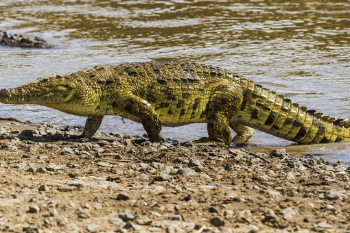 Nile crocodile emerging from Mara River.