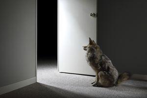 Wolf sitting by doorway