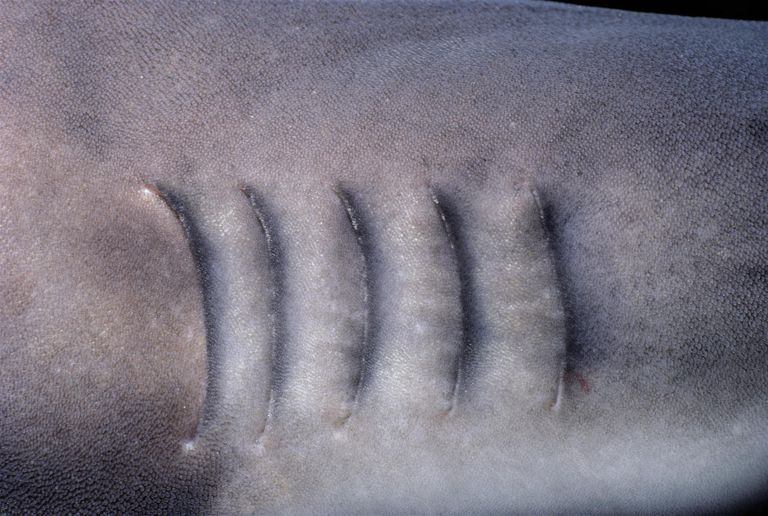Gills of Whitetip Reef Shark