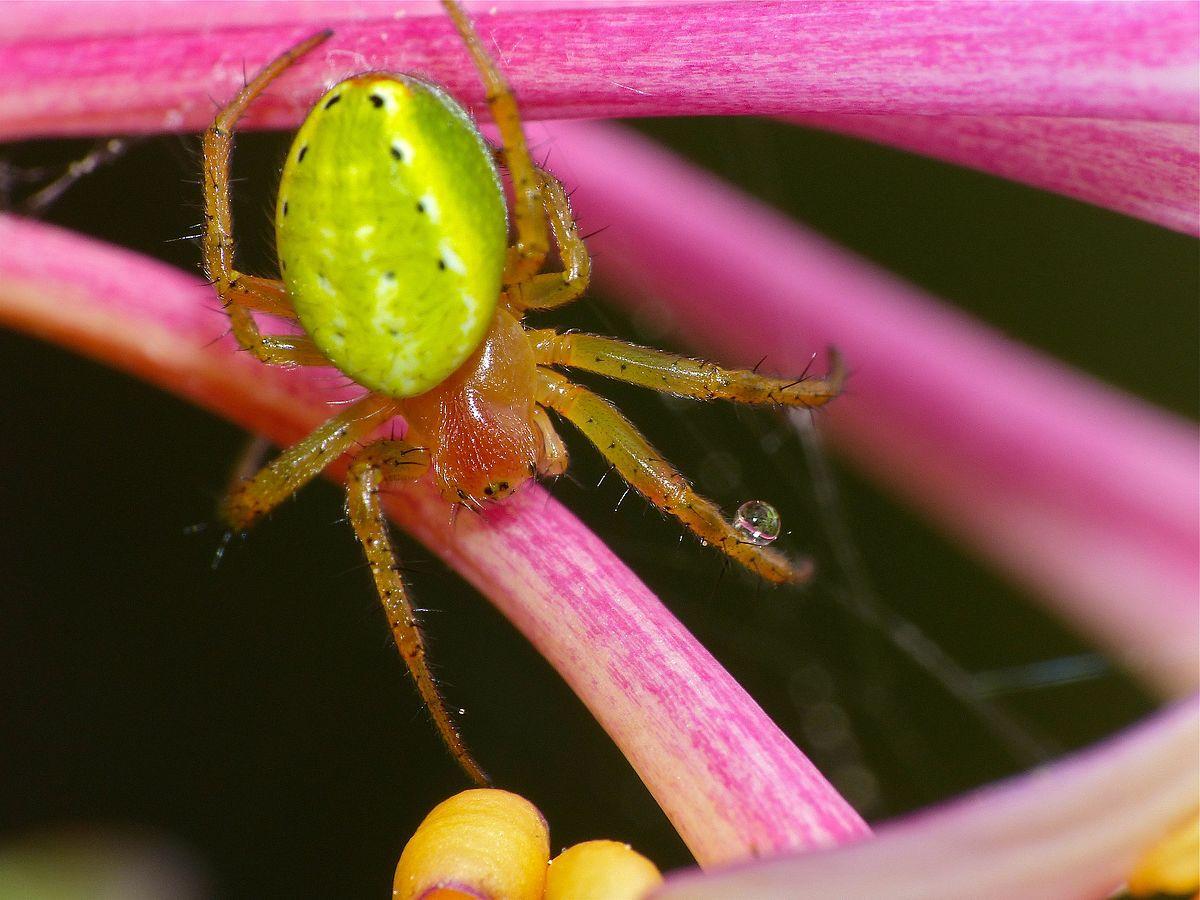 Close up of a cucumber green spider.