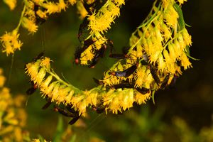 Florida lovebugs intermingle in flowering vegetation