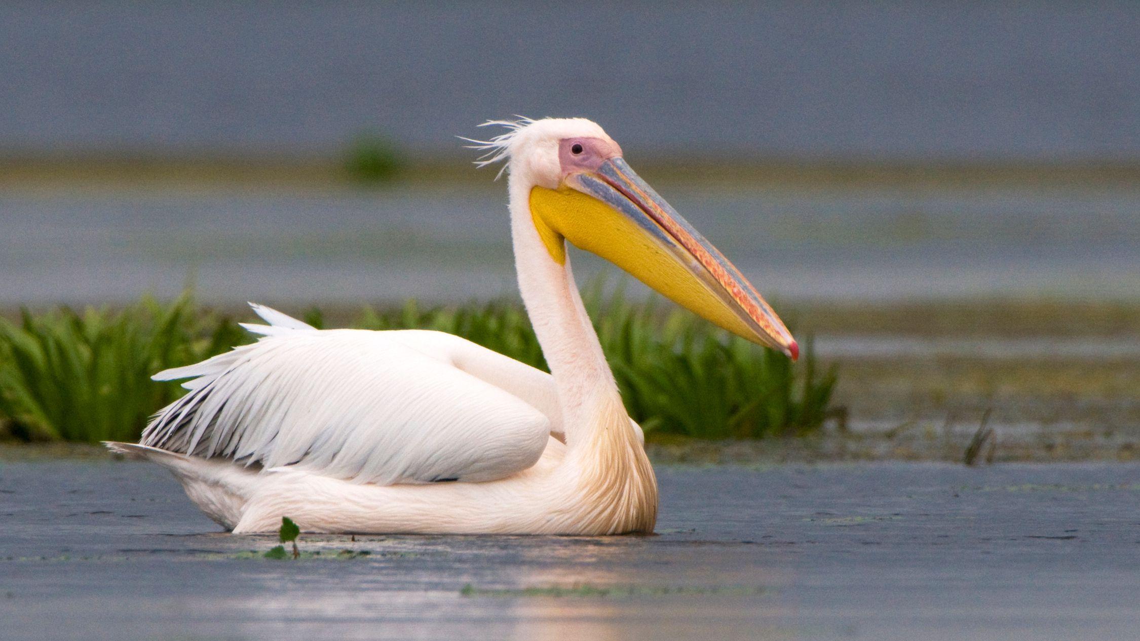 Pelican Facts Habitat Behavior Diet