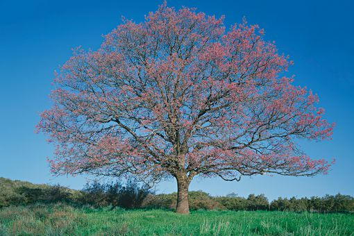 Black oak tree (Quercus kelloggii) in field, spring