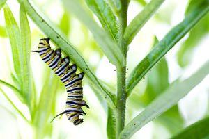 caterpillar eating milkweed