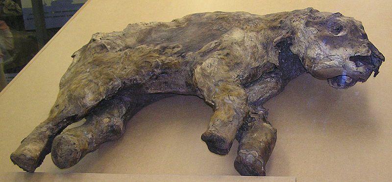 A frozen Woolly Mammoth juvenile