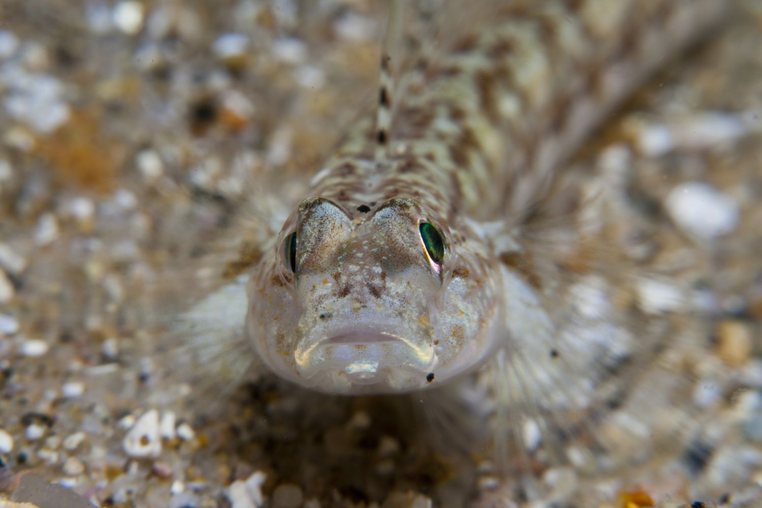 Male sand gobies sometimes eat their young.