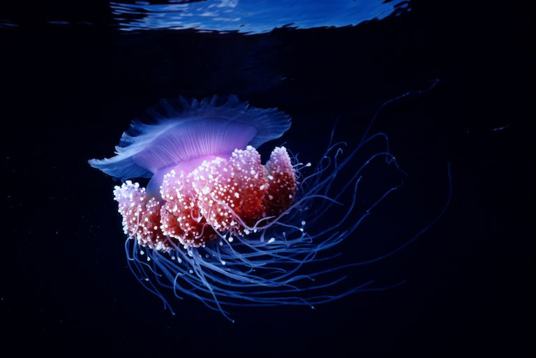Purple Jellyfish