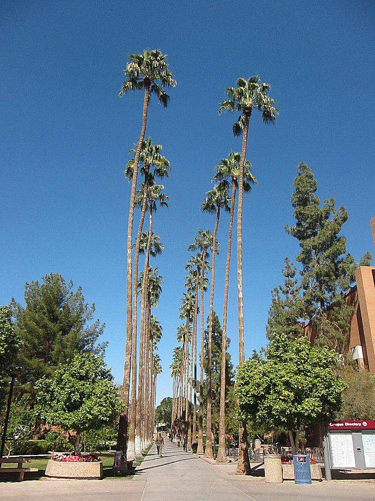 Palm Walk at Arizona State University
