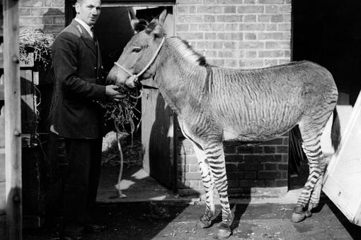 Zedonk, a hybrid of zebra and donkey