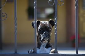 Boxer dog on guard duty at house