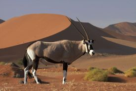 Gemsbok - Oryx gazella