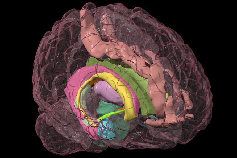 The human brain, with the structures of the limbic system colorized.