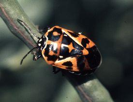 A brilliantly colored harlequin stink bug on a plant stem