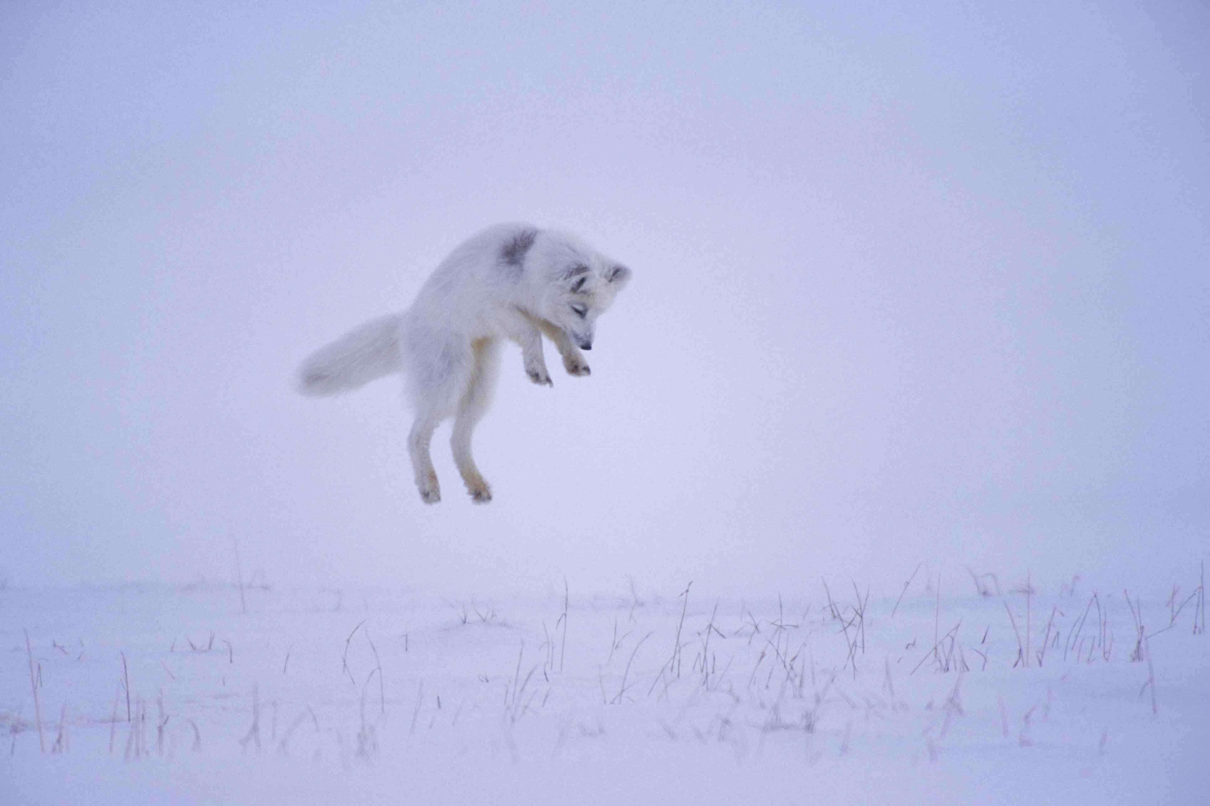 When an arctic fox hears a rodent beneath the snow, it leaps into the air to silently pounce upon prey from above.