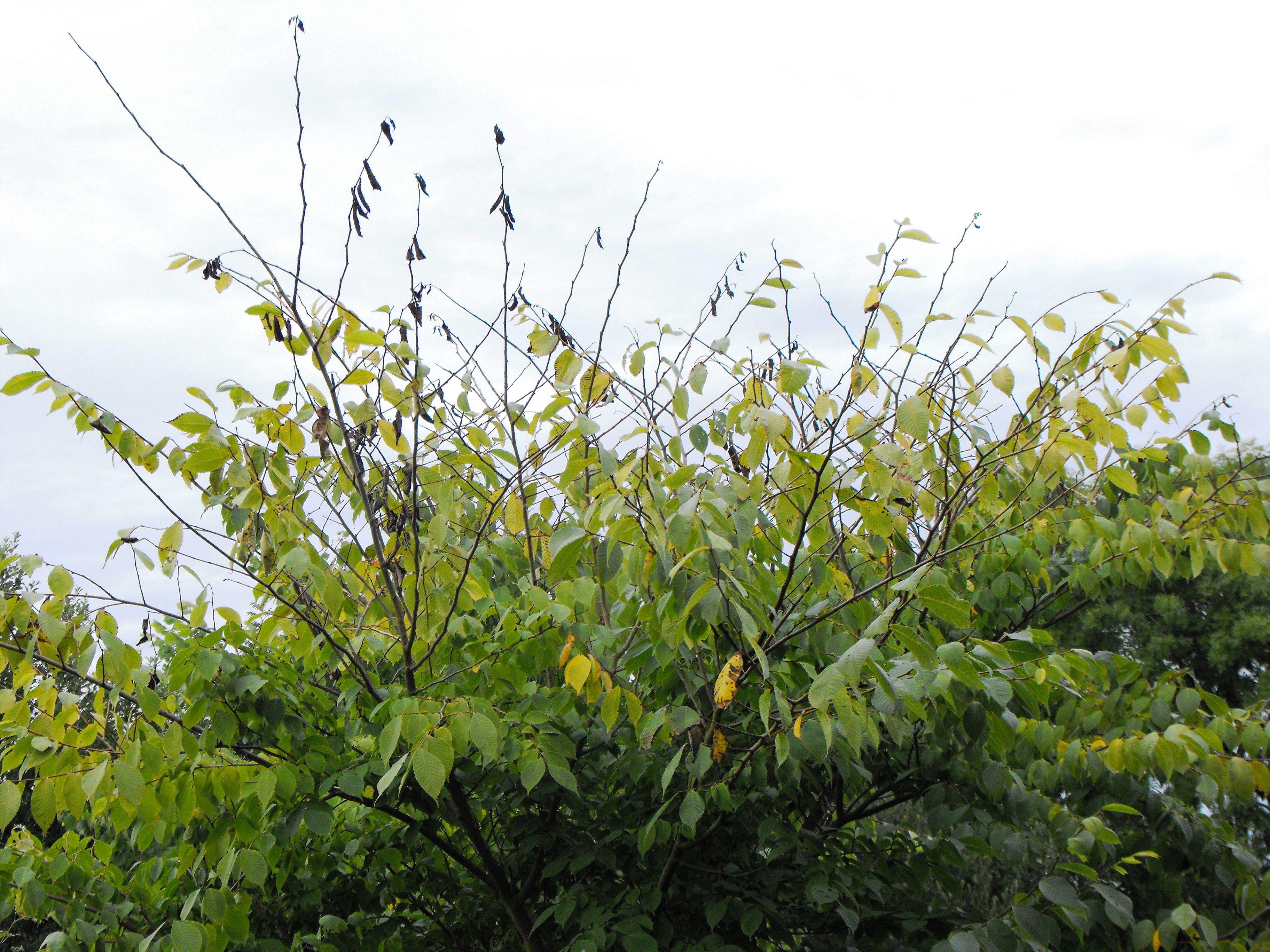diseased elm tree