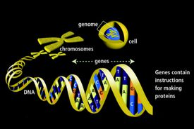 Gene diagram with cell. chromosomes, and DNA helix