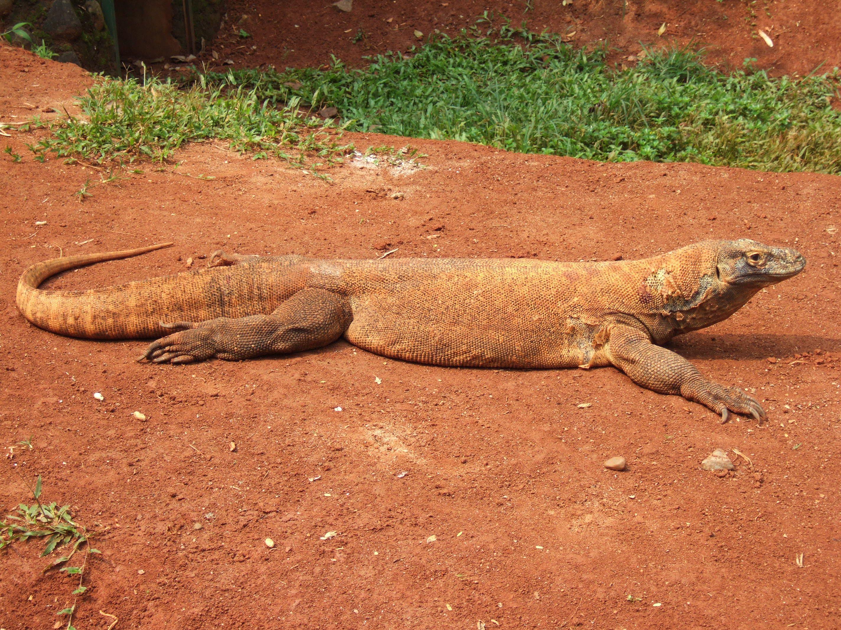 Komodo dragon crawling in the sand.