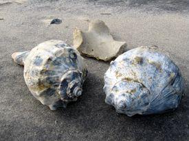 Whelk shells
