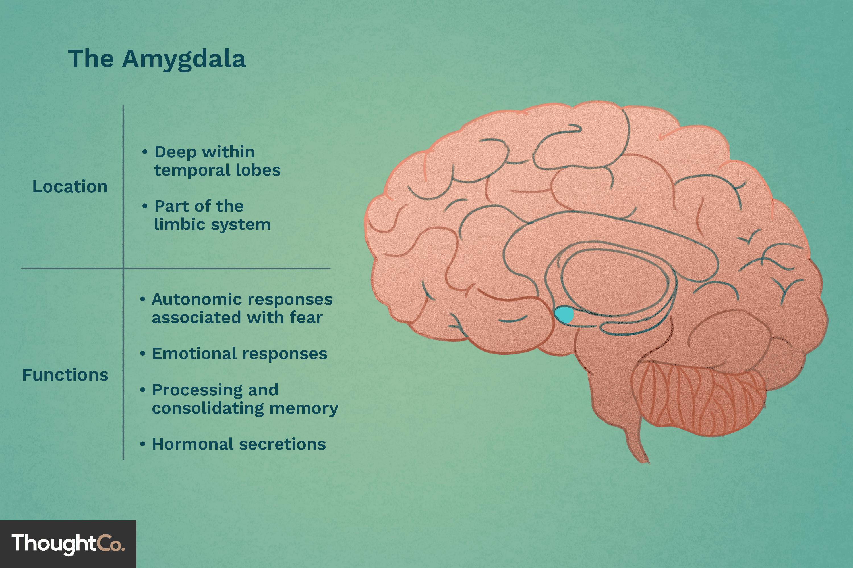 Amygdala U0026 39 S Location And Function