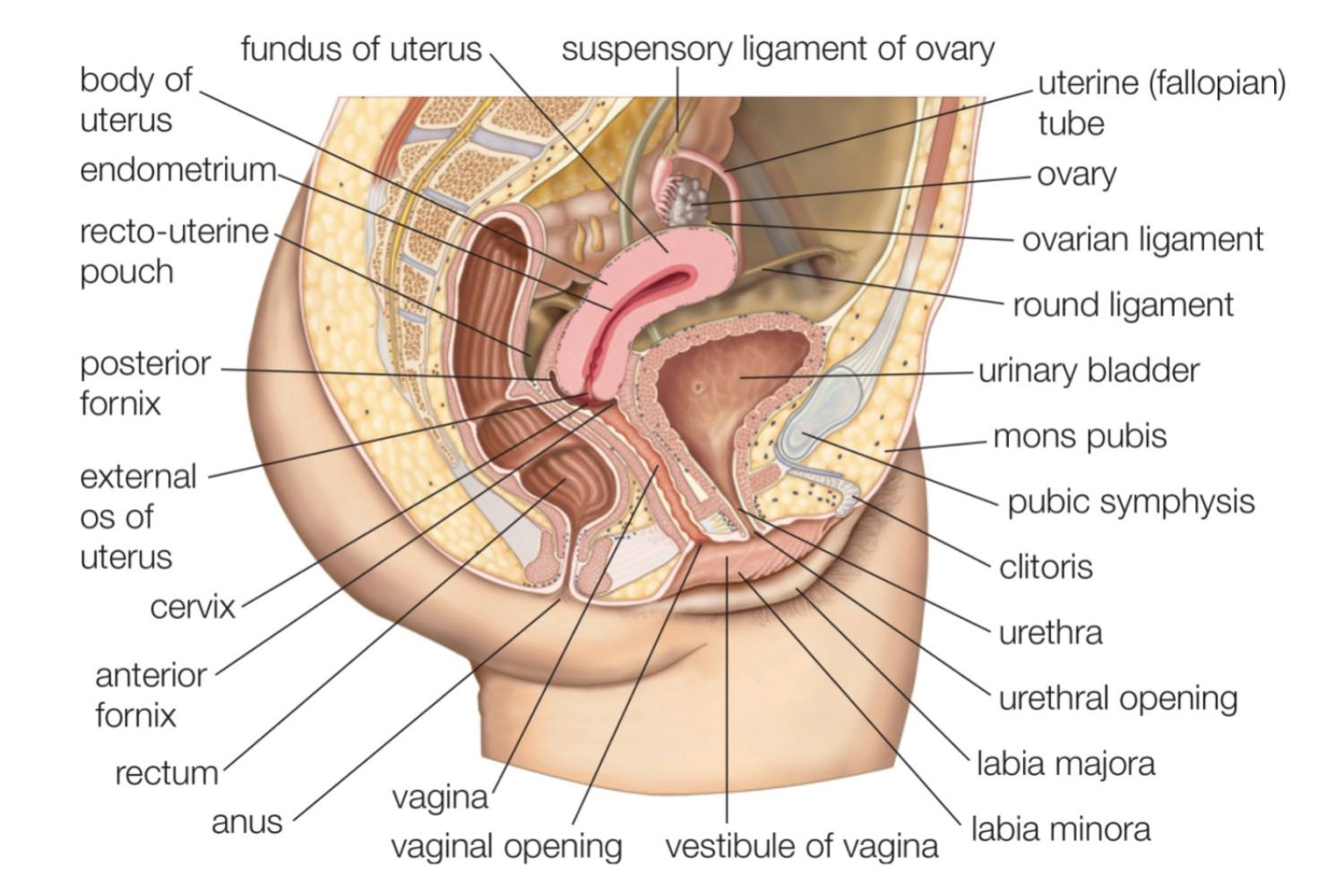 Male and Female Reproductive System Organs