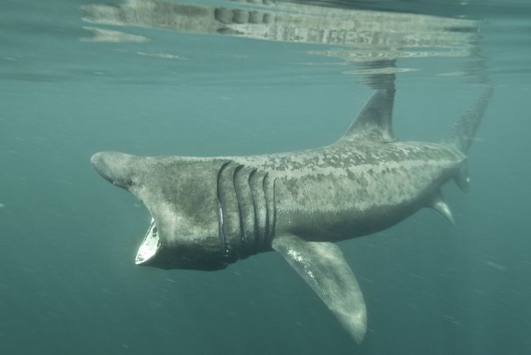Basking Shark / Mark Harding/Robert Harding World Imagery/Getty Images