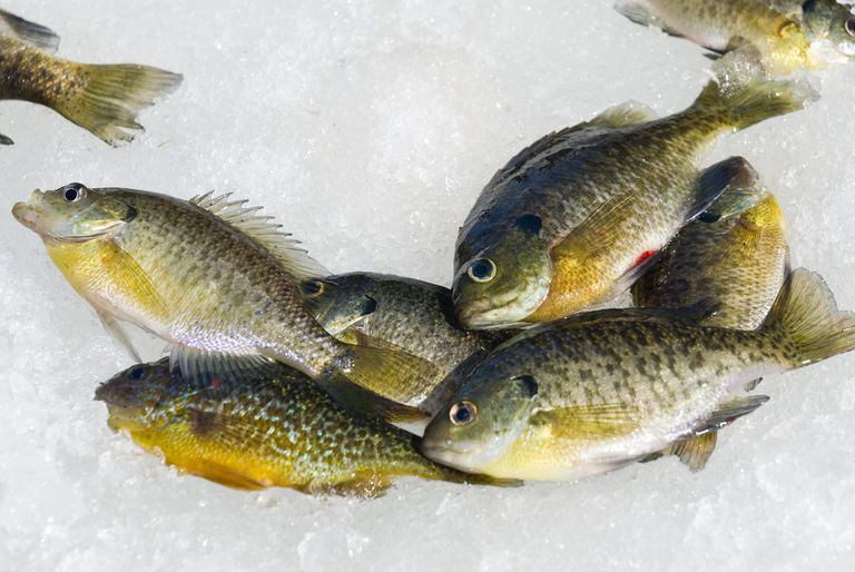 A pile of bluegill