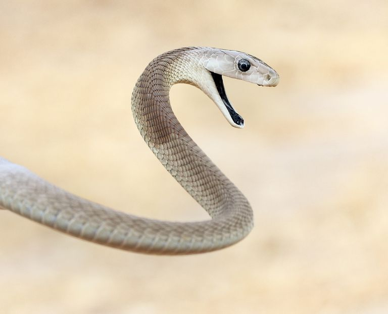 The black mamba is not a black snake, but it does have an inky black mouth.