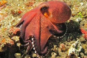 Coconut Octopuses