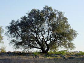 Engelmann oak tree