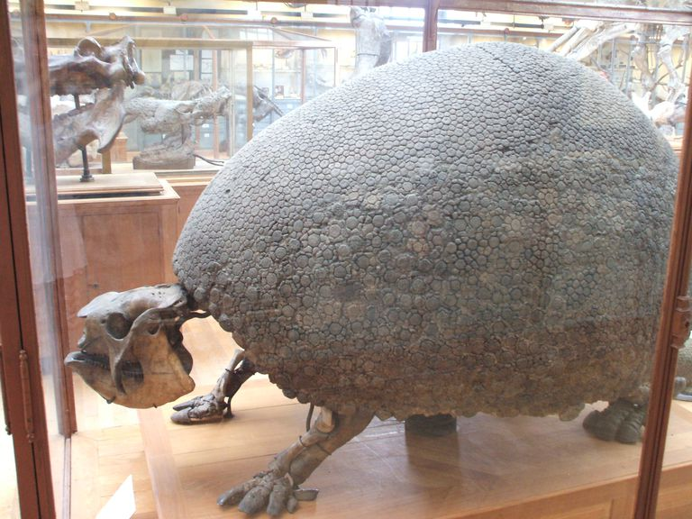 Glyptodon skeleten in glass display case
