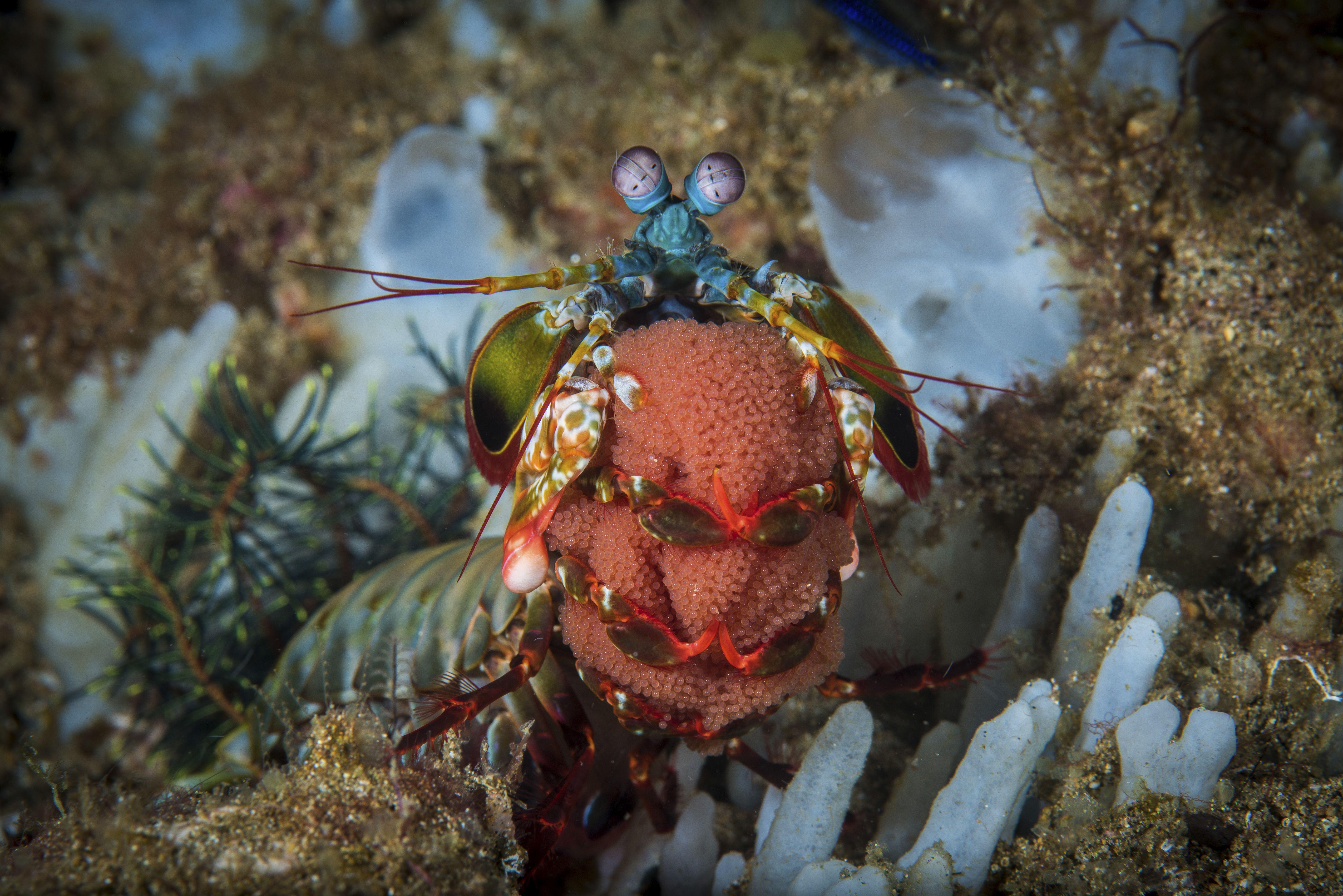 A peacock mantis shrimp carrying its egg ribbon, Anilao, Philippines.