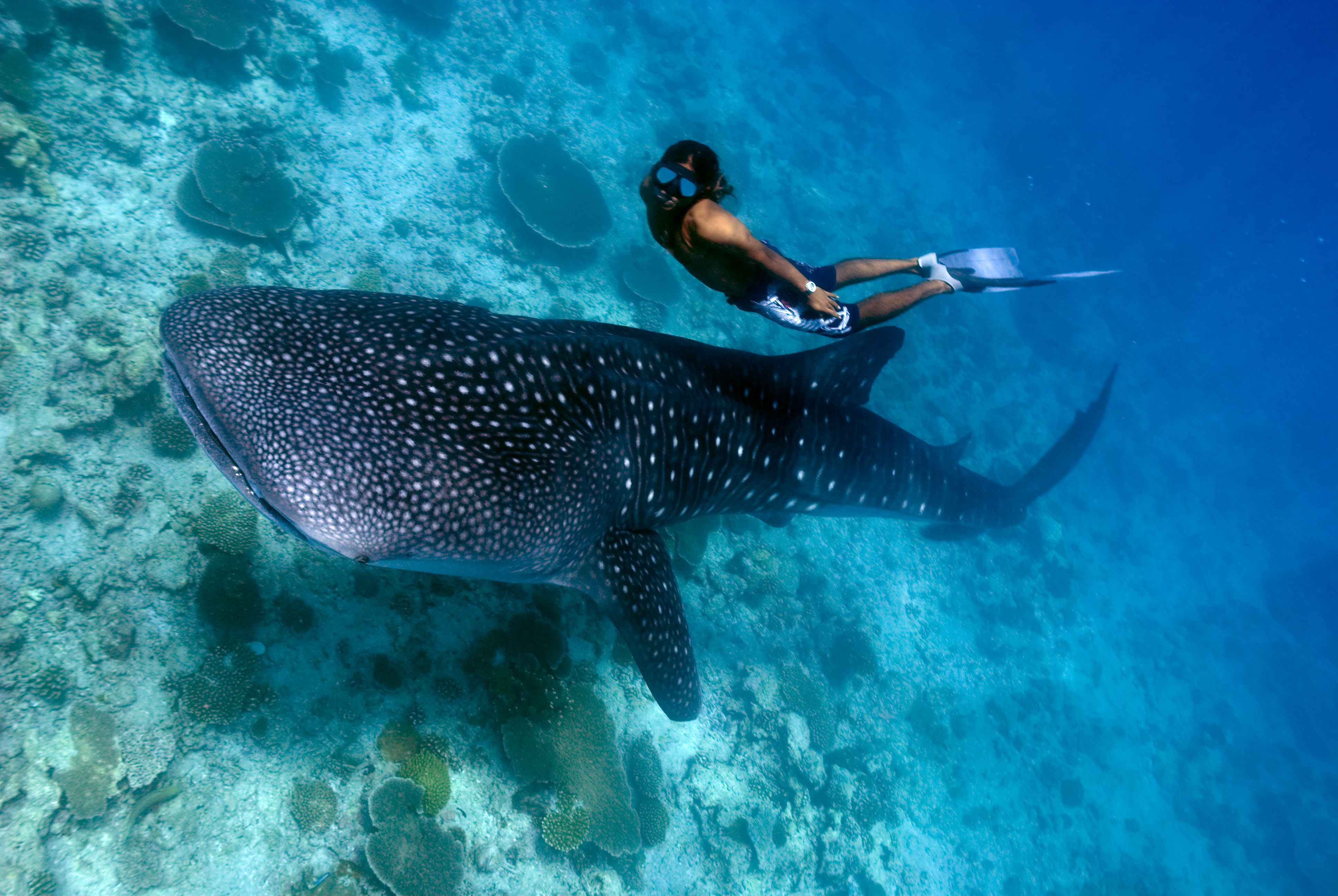 A freediver and a whale shark