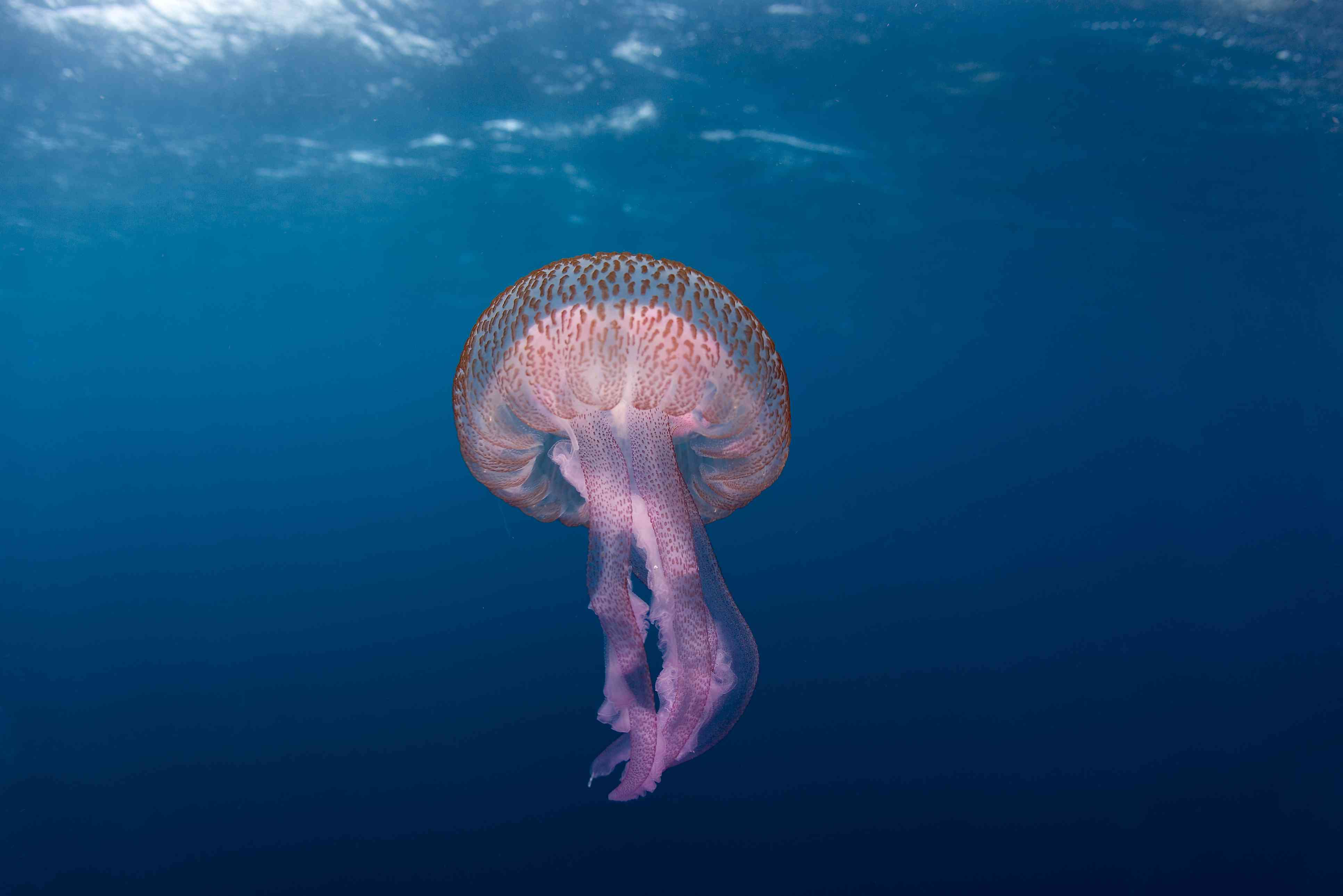 Identification of Jellyfish and Jelly-like Animals