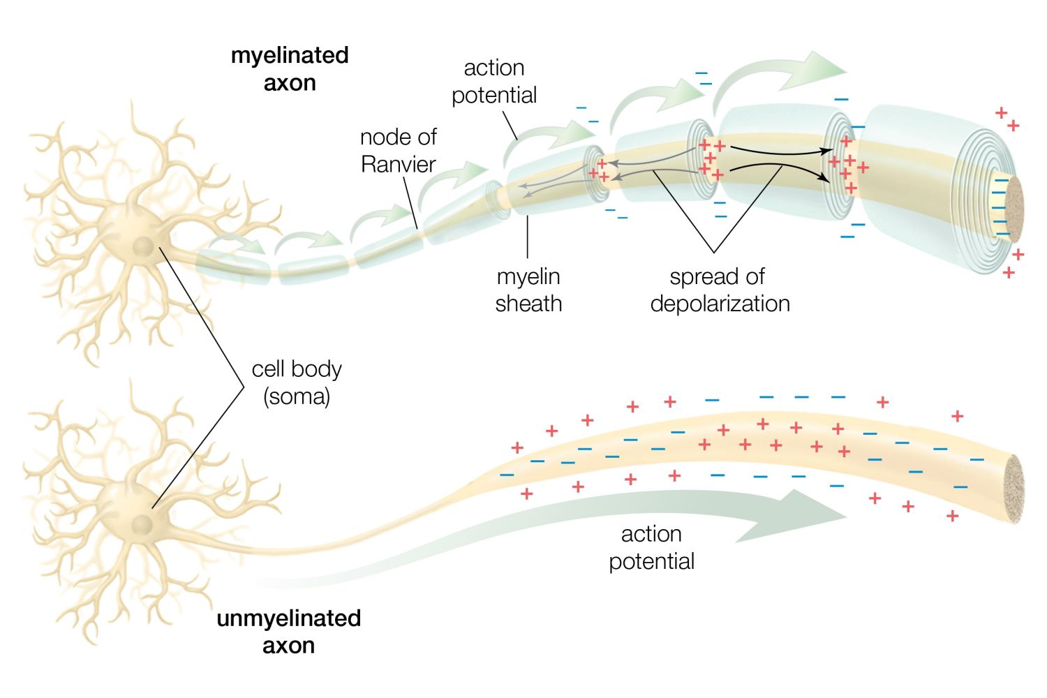 Human Biology The Anatomy Of Neurons