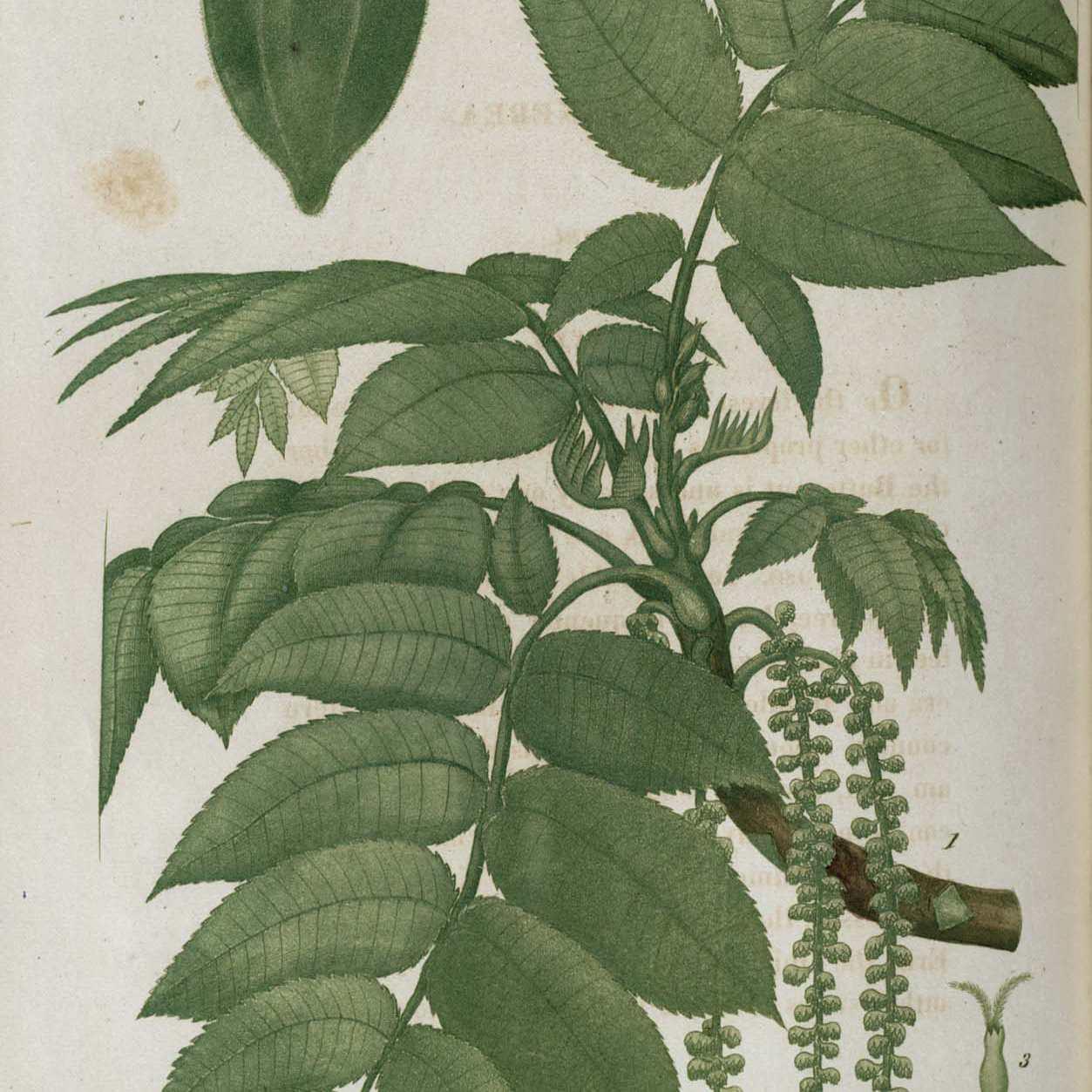 Butternut, a Common Tree in North America
