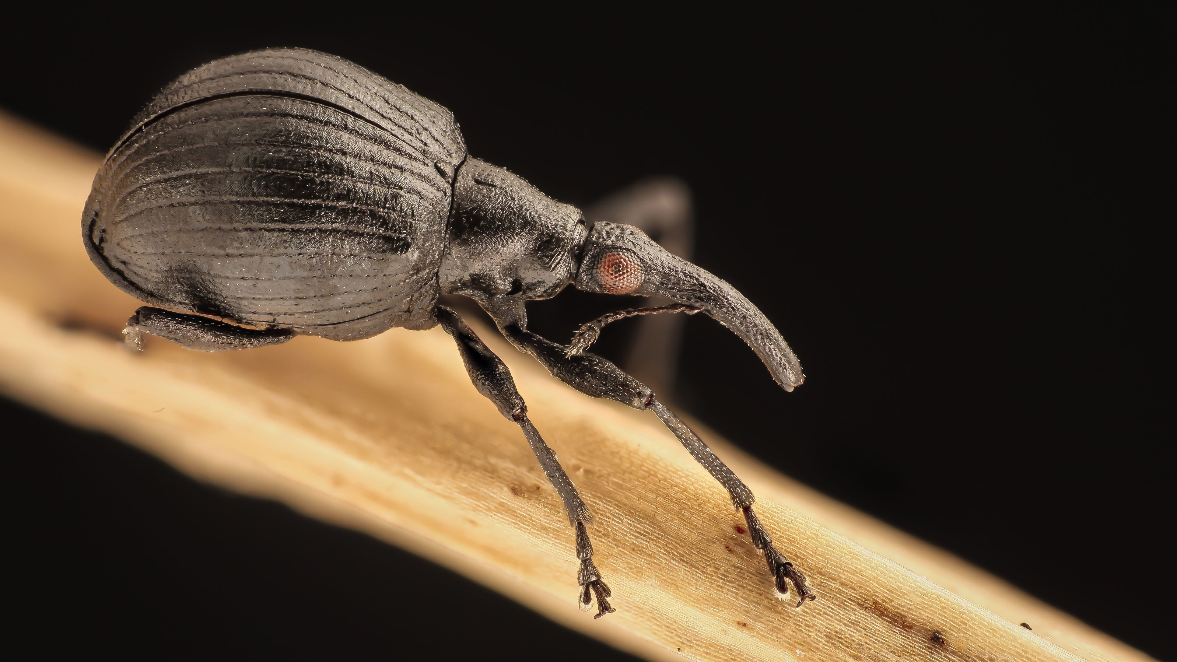 Weevils and Snout Beetles, Superfamily Curculionoidea